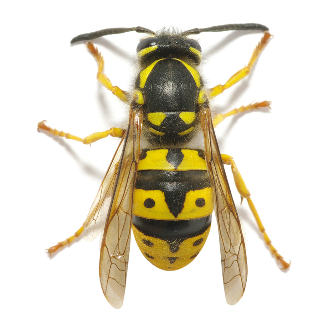 Wasp & Flying Insect Control CID Pest Control SE London & Kent - photo#41
